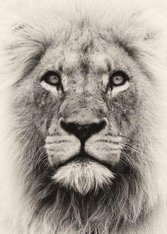 Spirit Lion by Rudi Hulshof on 500px.com