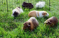 Fresh grass means happy pigs.