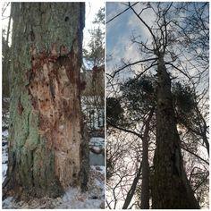 Männi sanitaarraie (ohtlike puude langetamine) vt lisaks http://www.puumehed.ee/