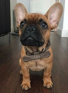 Ralph the very Dapper French Bulldog Puppy❤️