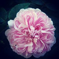The meaning of distinctive luxury No.1: The Taifi Rose During the Ottoman Empire, the Taif region was named the Arabian Rose. #MohamedHilalGroup #Beauty #ItalianDesign #Inspire