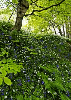 Bluebell Woodlands, Armadale Castle, Skye, Scotland.