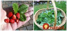 Tušili ste, že okrem plodov sú veľmi užitočné aj listy jahody? Samozrejme, hovoríme o listoch jahôd, ktoré neboli ošetrované chemickým hnojivom a rastú v prírode - lesné jahody.  Čo obsahujú jahodové listy?      Lístky jahôd obsahujú triesloviny, organické
