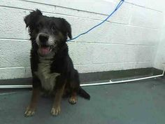 BEAR (A1645771) I am a male tricolor Australian Shepherd mix.  The shelter staff think I am about 5 years old and I weigh 45 pounds.  I was found as a stray and I may be available for adoption on 09/24/2014 — hier: Miami Dade County Animal Services. https://www.facebook.com/urgentdogsofmiami/photos/pb.191859757515102.-2207520000.1411328459./842065142494557/?type=3&theater