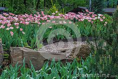 Gesner blossomed tulips in the garden