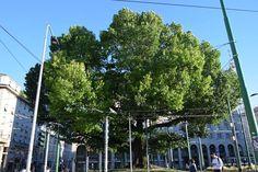 Lombardia -  Quercia rossa - Quercus rubra L. - - Milano - Piazza XXIV Maggio -15-6-16 - Michele Iannizzotto (84)