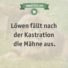 Deshalb ist das so: http://www.unnuetzes.com/wissen/10450/loewen-maehne/