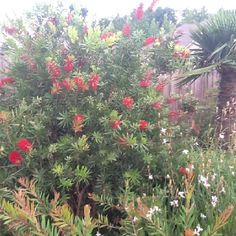 Bottle brush plant, a great plant to give your yard a little tropical flare. Stays green year around with beautiful red blooms half the year.