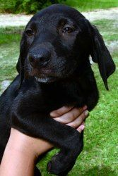 Lucy is an adoptable Labrador Retriever Dog in Clinton, LA. Born around April 1st, Lucy is a beautiful pup, destined to be a large, healthy and happy dog.  The litter of 7 were born of a red/chocolate...