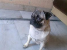 Simy, 11month old male Pug, with Sumit in India #pug