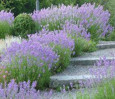 Terraced garden steps - but with lavender/rosemary instead. Sloped Garden, Plants, Cottage Garden, Front Garden, Stone Garden Paths, Lavender Garden, Outdoor Gardens, Dream Garden, Garden Steps