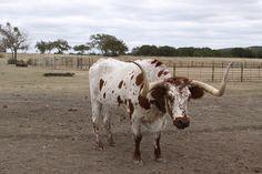 Long Horn at the Silver Spur Dude Ranch in Bandera Texas