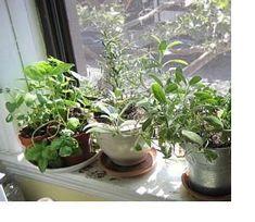 growing winter herbs