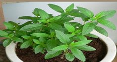 If You Have This Plant In Your Home, You Will Never Again See Spiders And Other Insects!