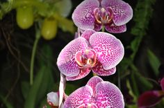 Orchids at Longwood Gardens