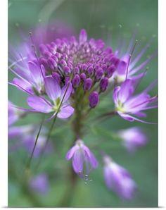 ~~Rocky Mountain Bee Plant (Cleome serrulata) flower by Tim Fitzharris~~