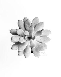 Succulent Art Black and White Photography by AzzariJarrettDesigns