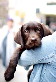 Mind Blowing Facts About Labrador Retrievers And Ideas. Amazing Facts About Labrador Retrievers And Ideas. Cute Puppies, Cute Dogs, Dogs And Puppies, Doggies, Animals Beautiful, Cute Animals, Chocolate Lab Puppies, Chocolate Labs, Chocolate Labradors