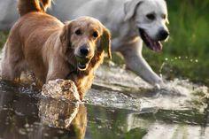 MUSCH-koiranruokaa valmistettiin alun perin metsästyskoirien tarpeisiin. Dogs, Animals, Products, Animales, Animaux, Doggies, Animal, Animais, Beauty Products