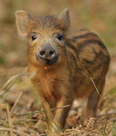 'Tiger' pig!!
