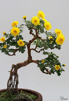 #yellow daisy bonsai