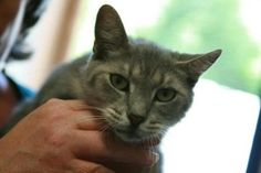 Robin is an adoptable Domestic Short Hair-Gray Cat in Frankfort, KY. Foster or adopt today - Transportation may be available - just ask. Contact: lonearrow@bellsouth.net Franklin County Humane Society...