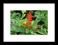 salvia, orange, flower, nature, macro, michiale schneider photography