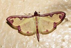 https://flic.kr/p/pbRt67 | Cadarena sinuata (Crambidae)-IMG_0557 copy | Cadarena sinuata (Crambidae). Photographed in the Buhoma sector of Bwindi Impenetrable National Park, Uganda on 18 February 2014.