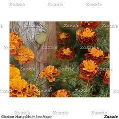 Glorious Marigolds Postcard