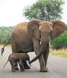 """🐘💖🐘💖 - """"Where are we going, Momma?"""" photo phrom via 👉For info about… Elephant Images, Elephant Pictures, Elephants Photos, Save The Elephants, Elephant Love, Elephant Gifts, Animal Pictures, Baby Elephants, Elephant Art"""