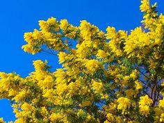 #mimosen: Jedes Jahr wieder ein Erlebnis. :-)