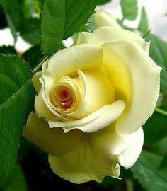 Lovely #rose