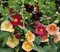 Alcea ficifolia produce many upright stems emerging from the base, resulting in a bushy form.