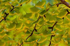 Ginkgo Leaves at the Start of Autumn