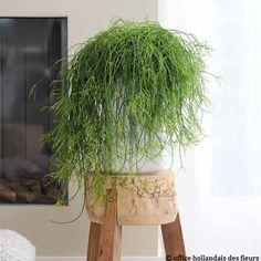 Le Rhipsalis, une plante à ....cheveux !