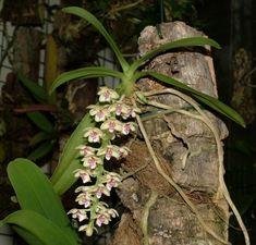 Parapteroceras quisumbingii