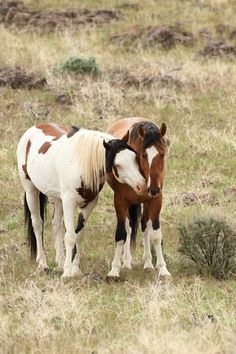 Part 1 of South Steens Wild horses blog; covering major and well known horses in the HMA, their history, photos and videos.