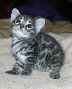 Baby snow bangel cat!  So cute.