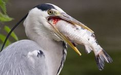 Heron Choking on Fish. All herons are carnivores. They eat fish, shelfish, mice and even insects. Read more about heron for kids here: http://easyscienceforkids.com/all-about-herons/
