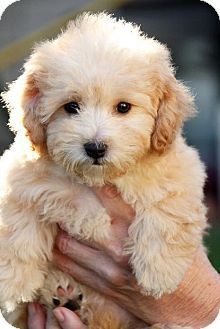 Mom, this is Peaches.. The new addition, I pick her up tomorrow! #yorkiepoo #dogs #cute
