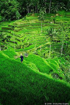 Terrazas de arroz en Ubud, Bali