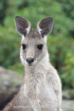 Eastern Grey Kangaroo Joey Kangaroo, Animals Images, Animal Pictures, Cute Pictures, Baby Animals, Cute Animals, Australia Animals, Animal Photography, Nature