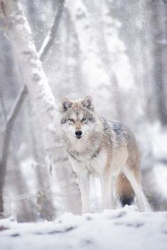 Wallpaper Lobos, Wolf Wallpaper, Wolf Photos, Wolf Pictures, Beautiful Wolves, Animals Beautiful, Wolf Hybrid, Wolf World, Wolf Photography
