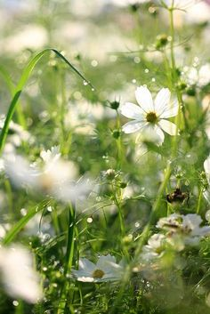 White cosmos white garden ♥♥♥ re pinned by www.huttonandhutton.co.uk