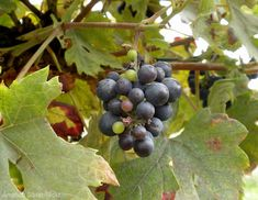 Growing grapes can be a rewarding venture for your farm if think through the operation before digging ground.