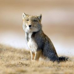 """all-things-canine: Species Name: Tibetan Sand FoxScientific Name: Vulpes ferrilata Diet Type: Carnivorous Protection Status: Least Endangered Origin: Western China,Northern Pakistan, Nepal and India """