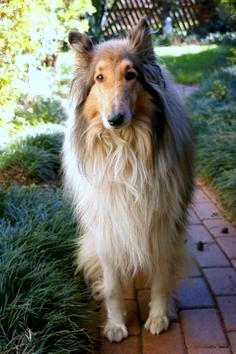 Oh how lovely, reminds me of my sweet sheltie Nemo Collie Mix, Rough Collie, Collie Breeds, Dog Breeds, Big Dogs, Dogs And Puppies, Beautiful Dogs, Beautiful Places, Black And White Dog