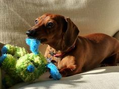 Doxies sure love their chew toys!