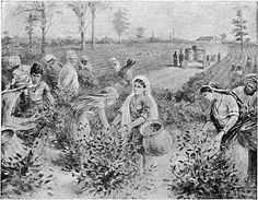 My dear children, a week ago I arrived on the beautiful island of Ceylon, south of India. With this letter I send you a picture of a tea plantation in Ceylon. Notice the men and women plucking the leaf. Many of them come from the south of India. Look at the White planter. Tomorrow I leave Ceylon on a long voyage to China. On the next shipment home, I have sent mother a chest of tea grown on the hills of Ceylon.  I remain, your loving Father. 16th July 1916