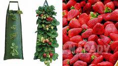 Čisté jahody: pěstování   Prima nápady Strawberry Planters, Fruit, Hub, Strawberry Fruit, Plants